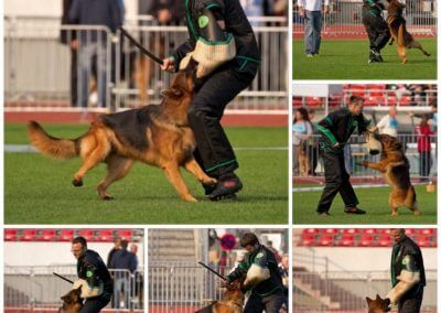 german shepherd police dog biting trainer