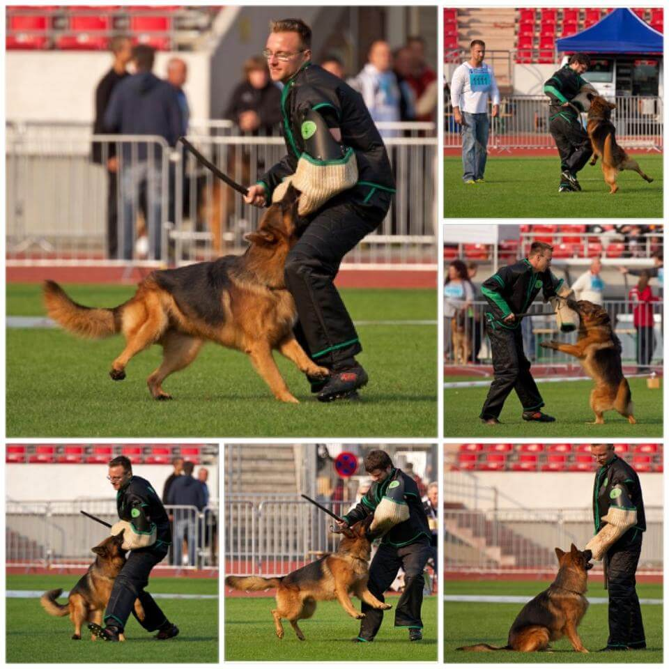 dog training competition german shepherd