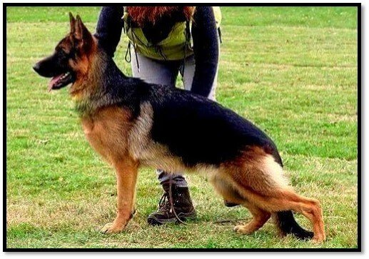 german shepherd female dog breeding janine