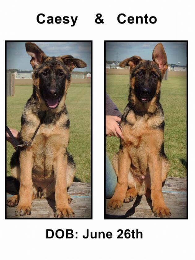 german shepherd puppy caesy and cento
