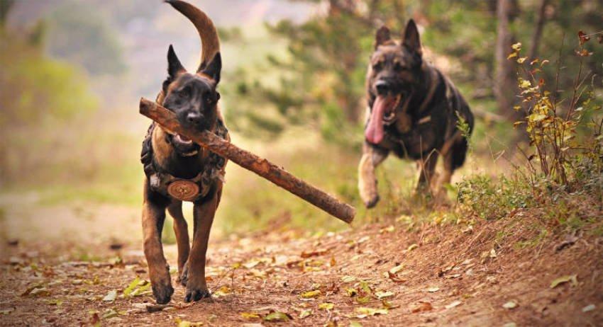 Target and Clicker Training German Shepherd