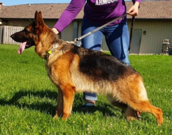 German Shepherds for sale, in leash with woman